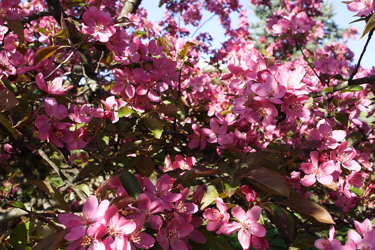 Filepink Tree Flowers West Virginia Forestwanderg