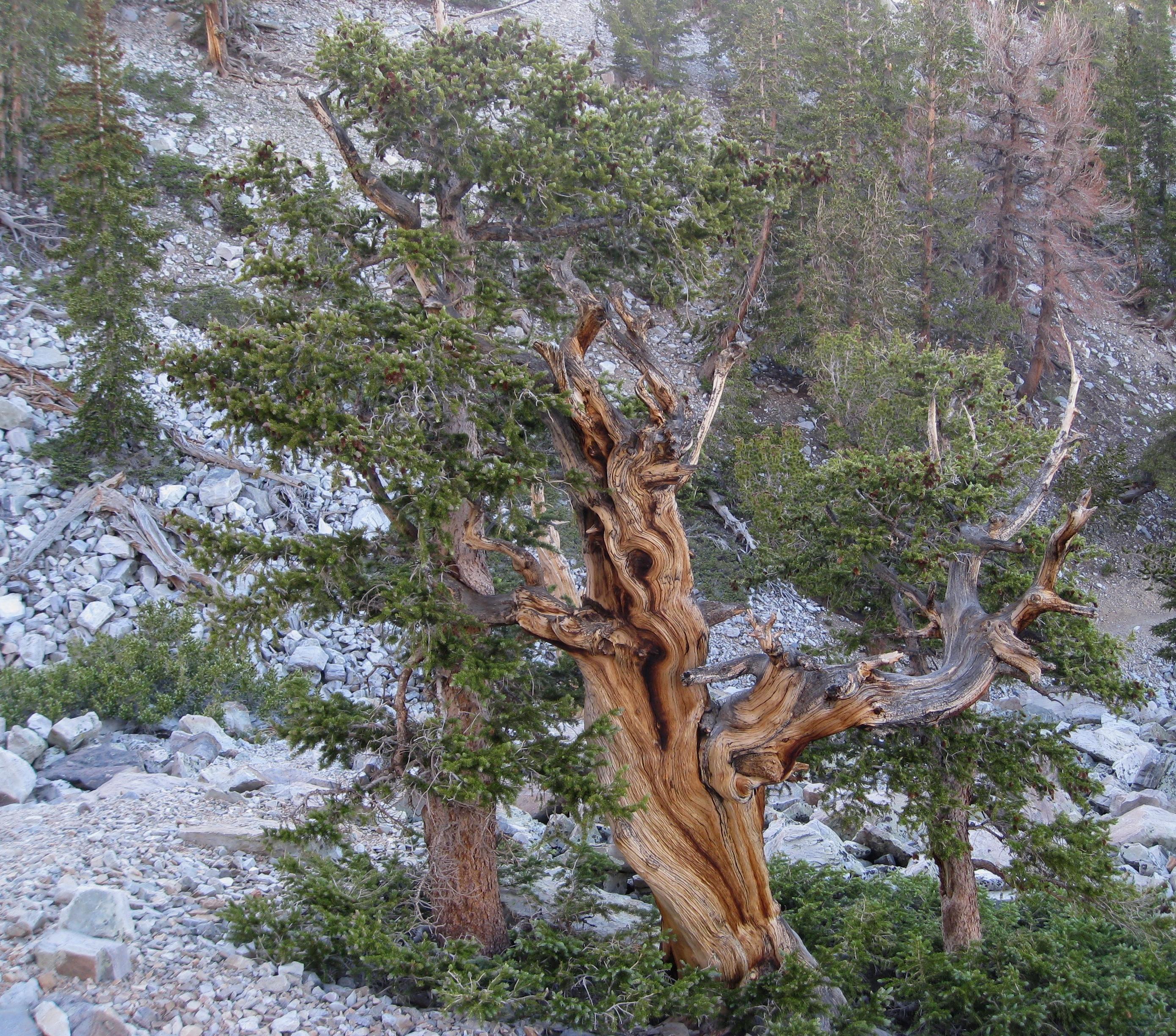 Pin laricio, bergerie de Grotelle(Corse)