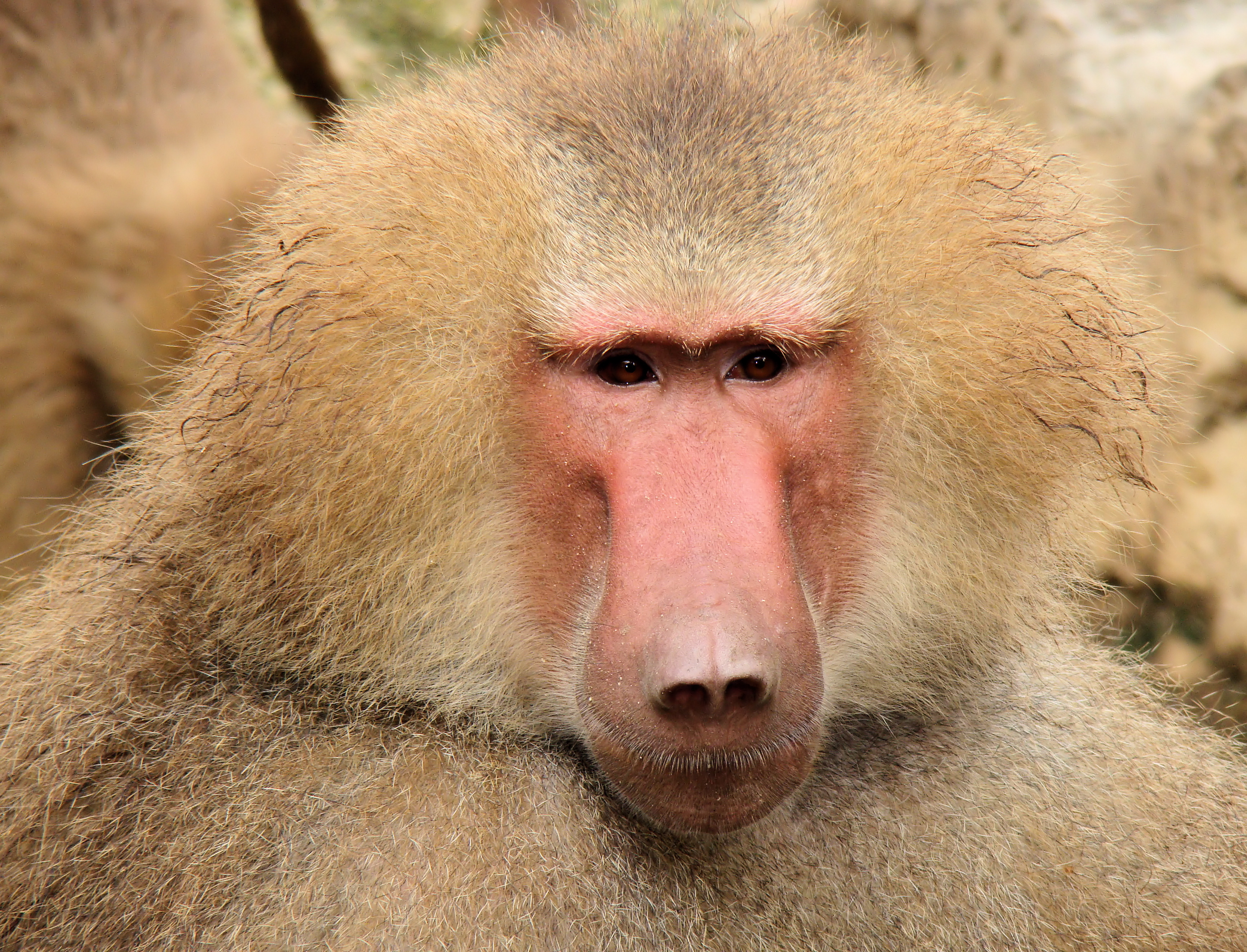 Pictures Of Baboons