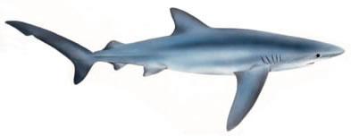 .::Tiburón Azul::. Prionace_glauca