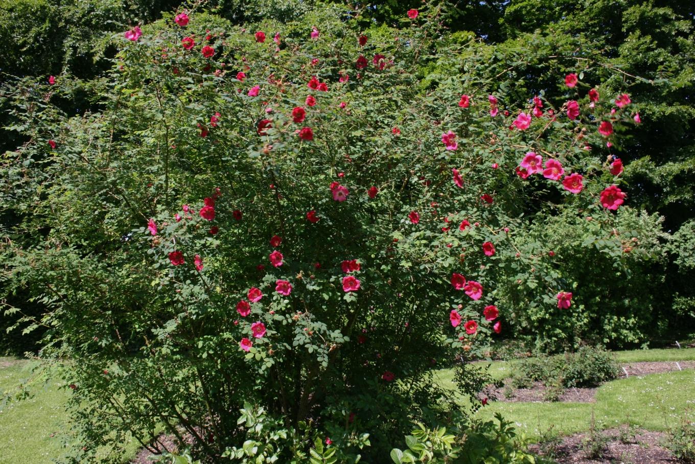 rosa moyesii image