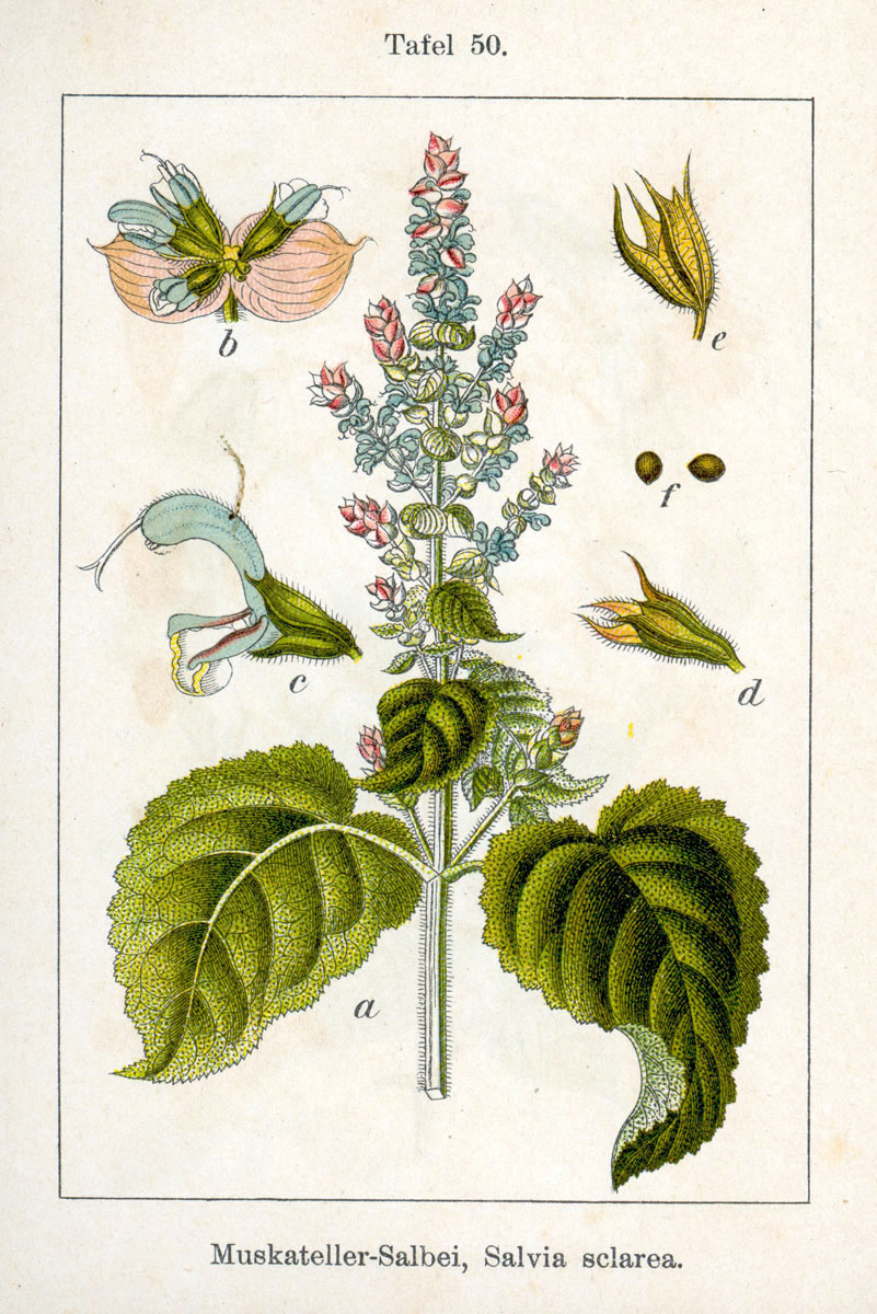 Salvia Romana