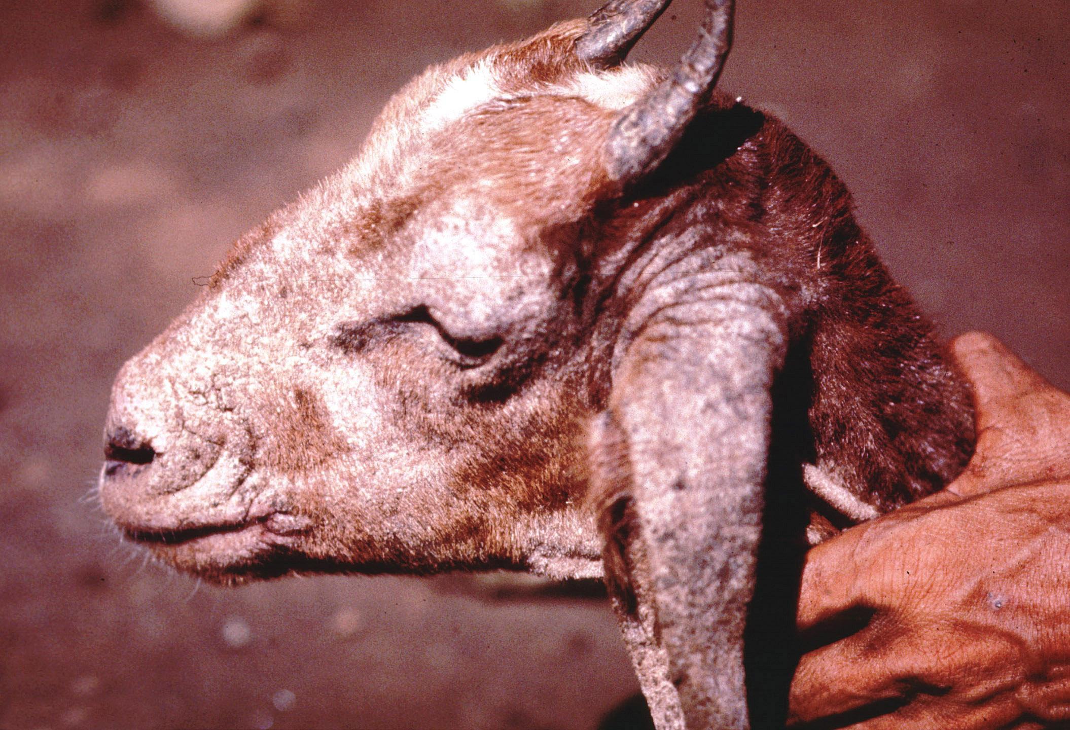 Svrab kozy