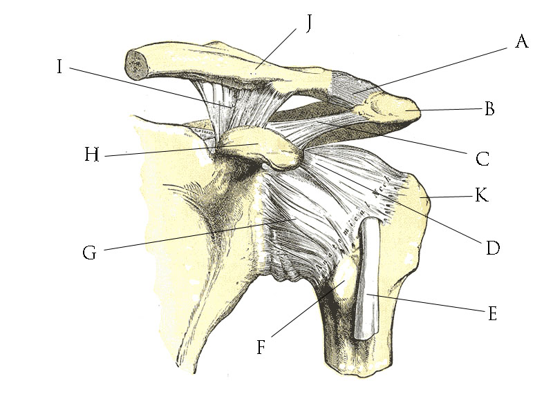 File Shoulder joint anatomy quiz on skeleton diagram to label the bones