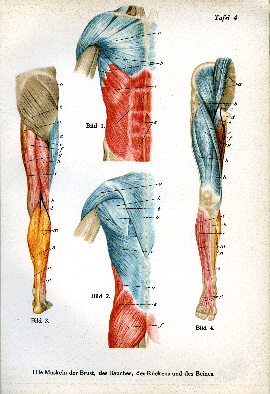 Nett Muskeln Im Bauchbereich Bilder - Menschliche Anatomie Bilder ...