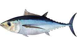 Klasifikasi Dan Morfologi Tuna Albakora (T. Alalunga)
