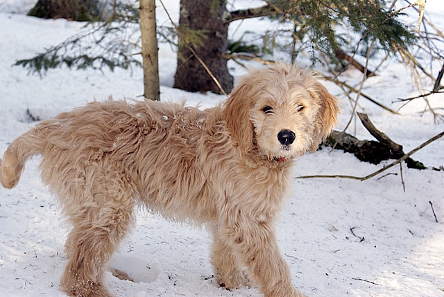 Twelve-week old goldendoodle pup