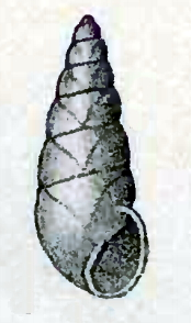 <i>Vitreolina</i> Genus of gastropods