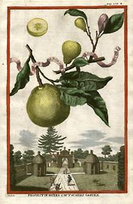 Antica illustrazione sul bergamotto.
