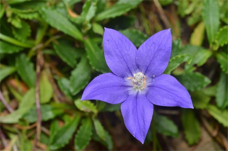 Wahlenbergia gloriosa
