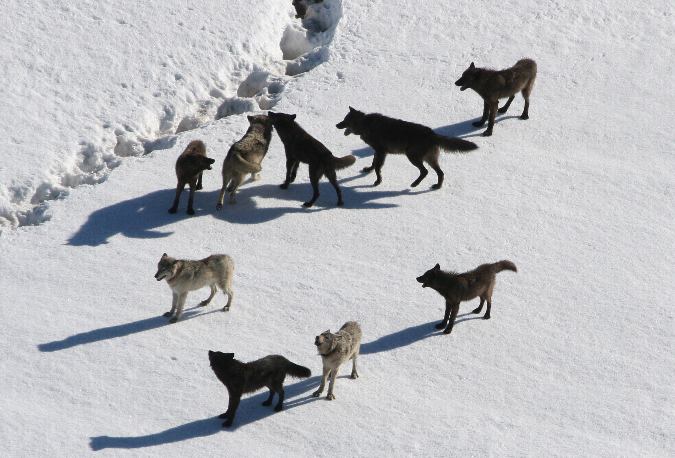 Description yellowstone wolves