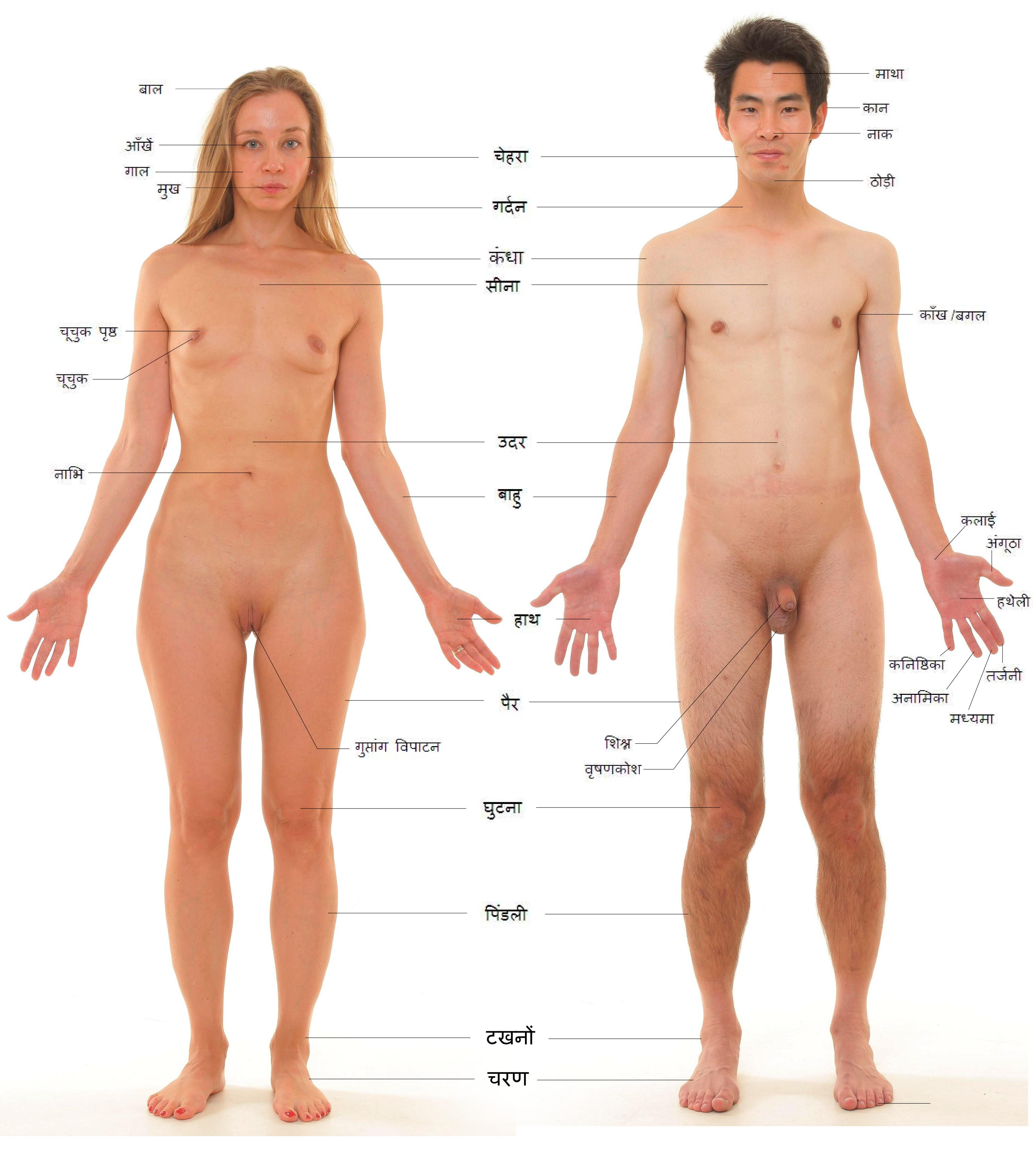and male human body with labels. Français : Vue antérieure de humain de sexe féminin et masculin. Plus d'informations sur l'image originale en anglais:
