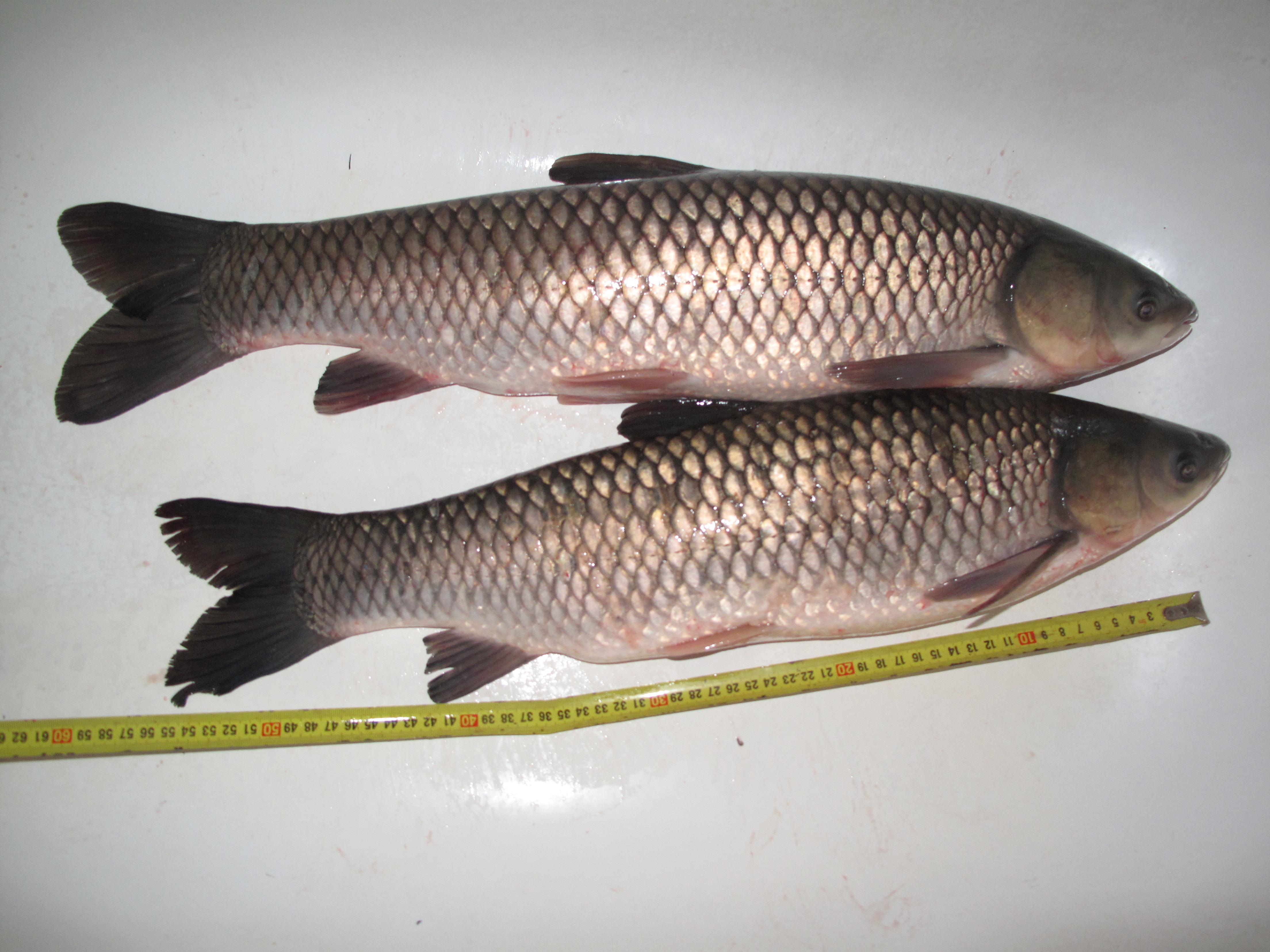 Triploid grass carp for White amur fish