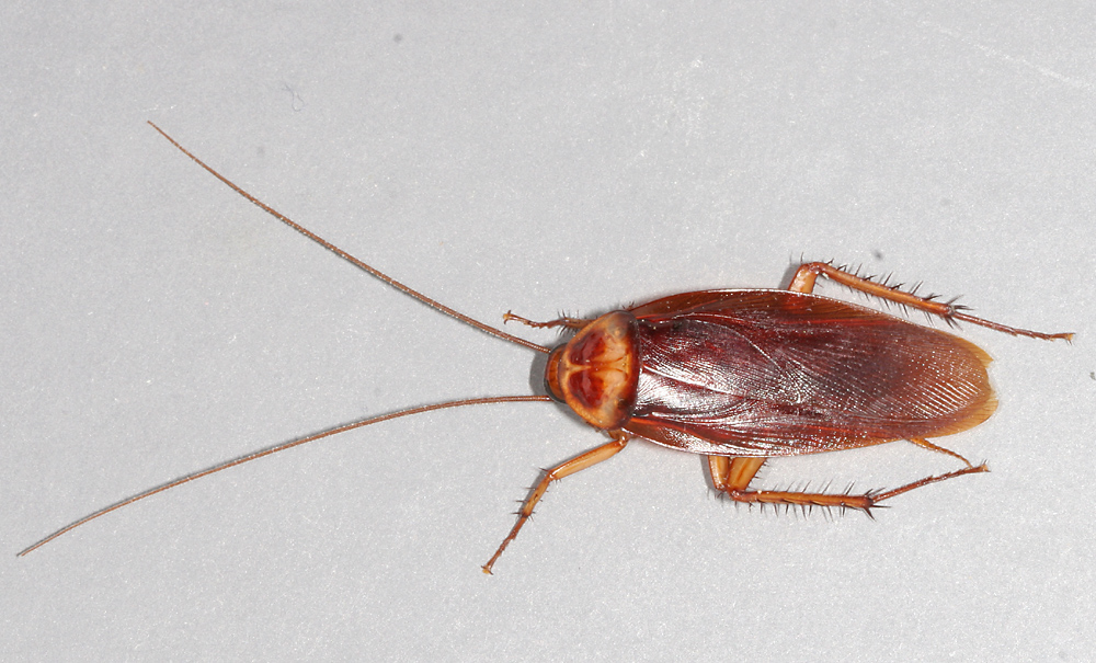 File American Cockroach Mirror Png Wikimedia Commons