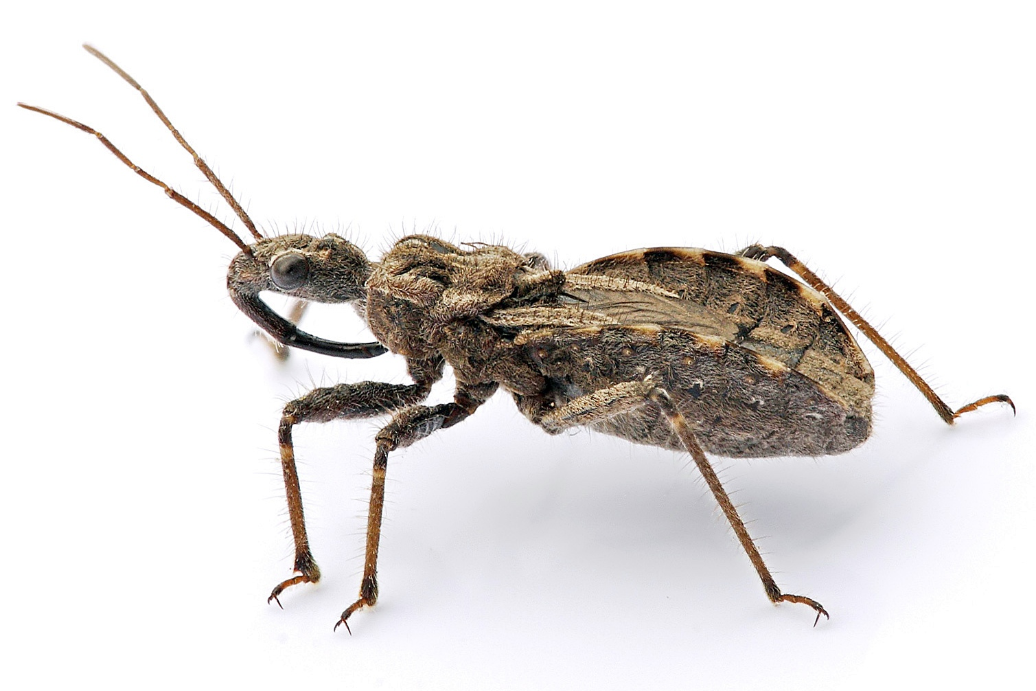 https://upload.wikimedia.org/wikipedia/commons/9/97/Assassin_bug_aug08_02.jpg