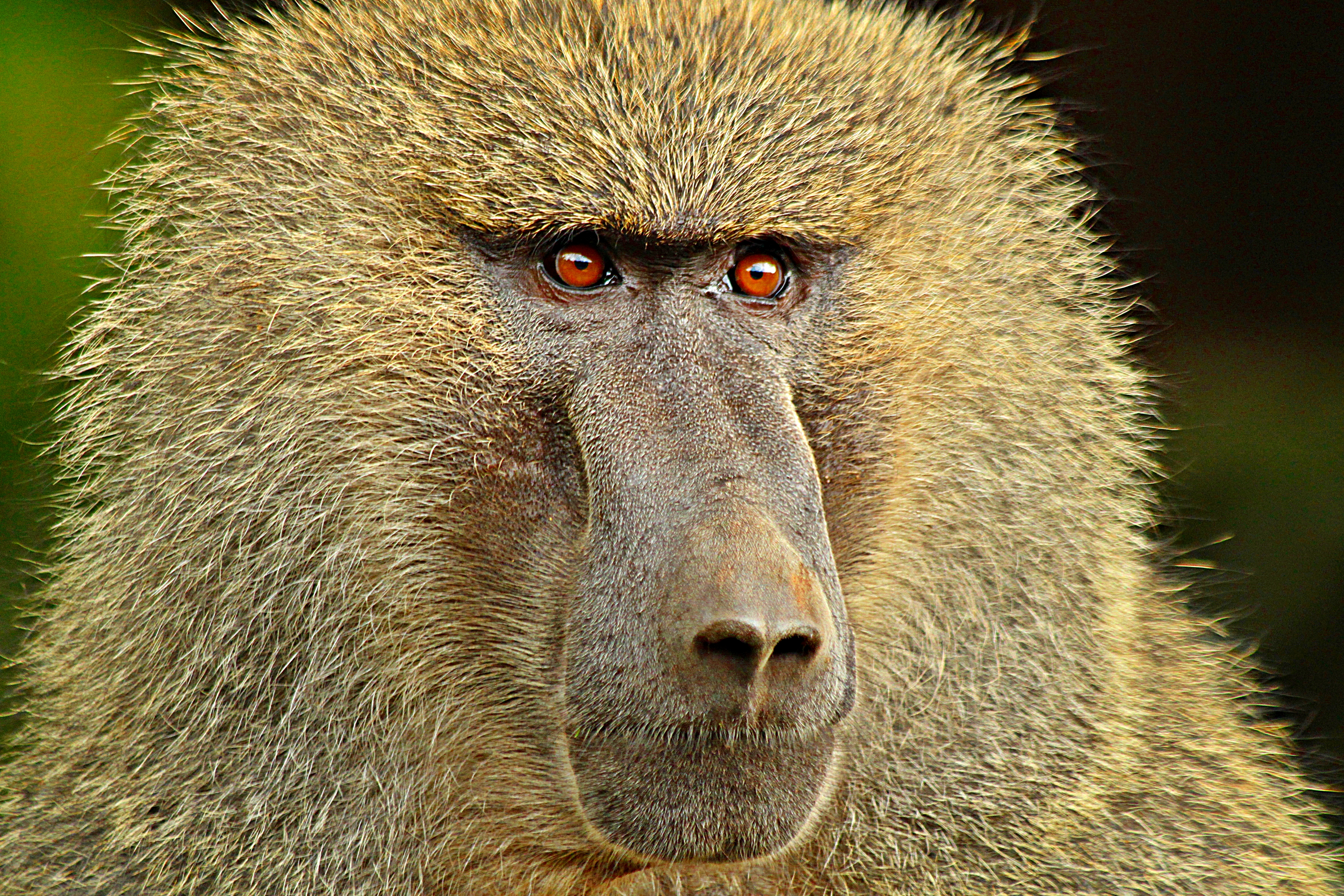 http://upload.wikimedia.org/wikipedia/commons/9/97/BABOON-e.JPG?uselang=fr