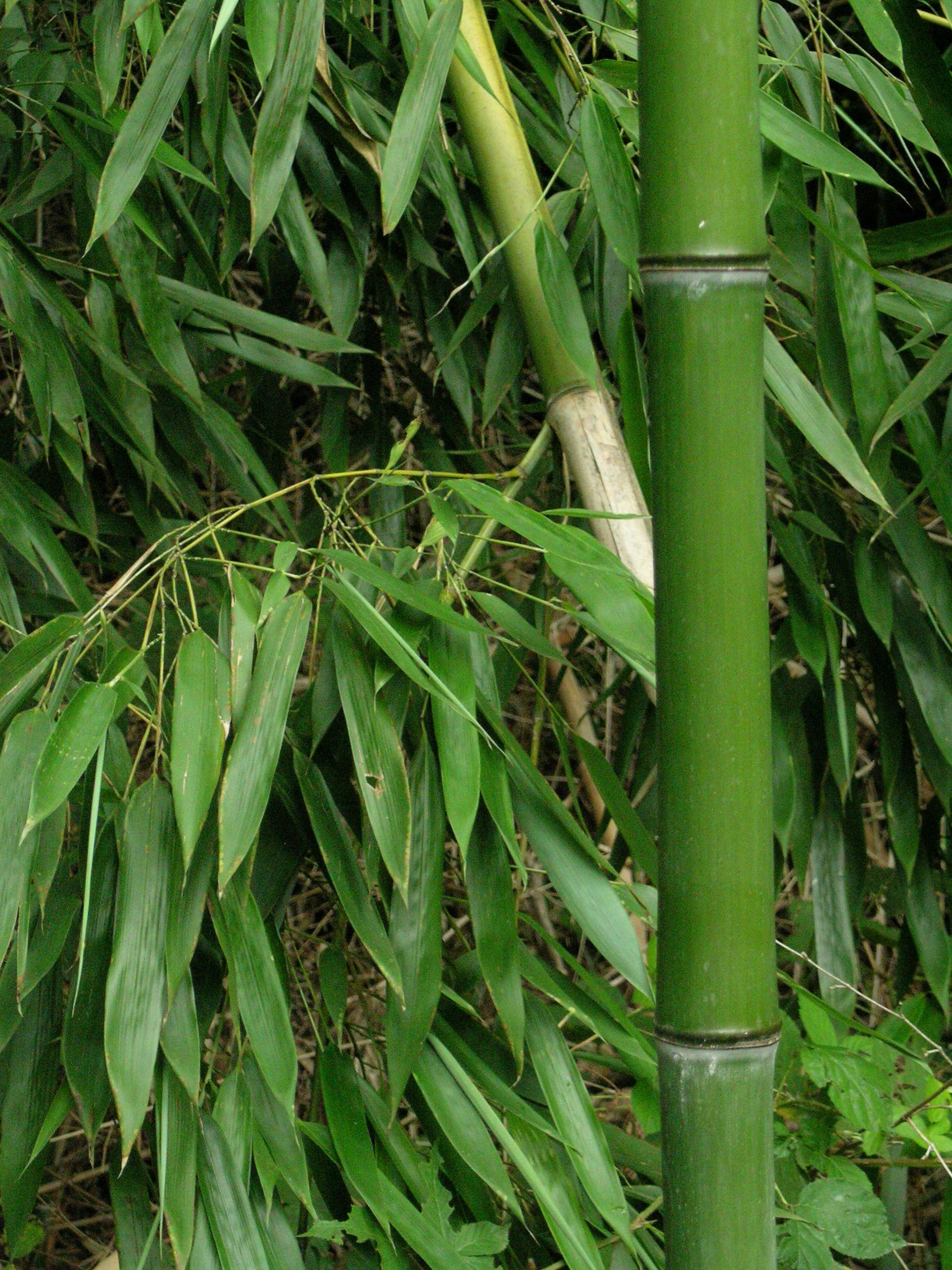 Bambou net worth
