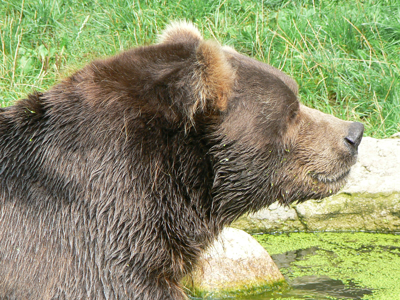 Black bear head profile - photo#24