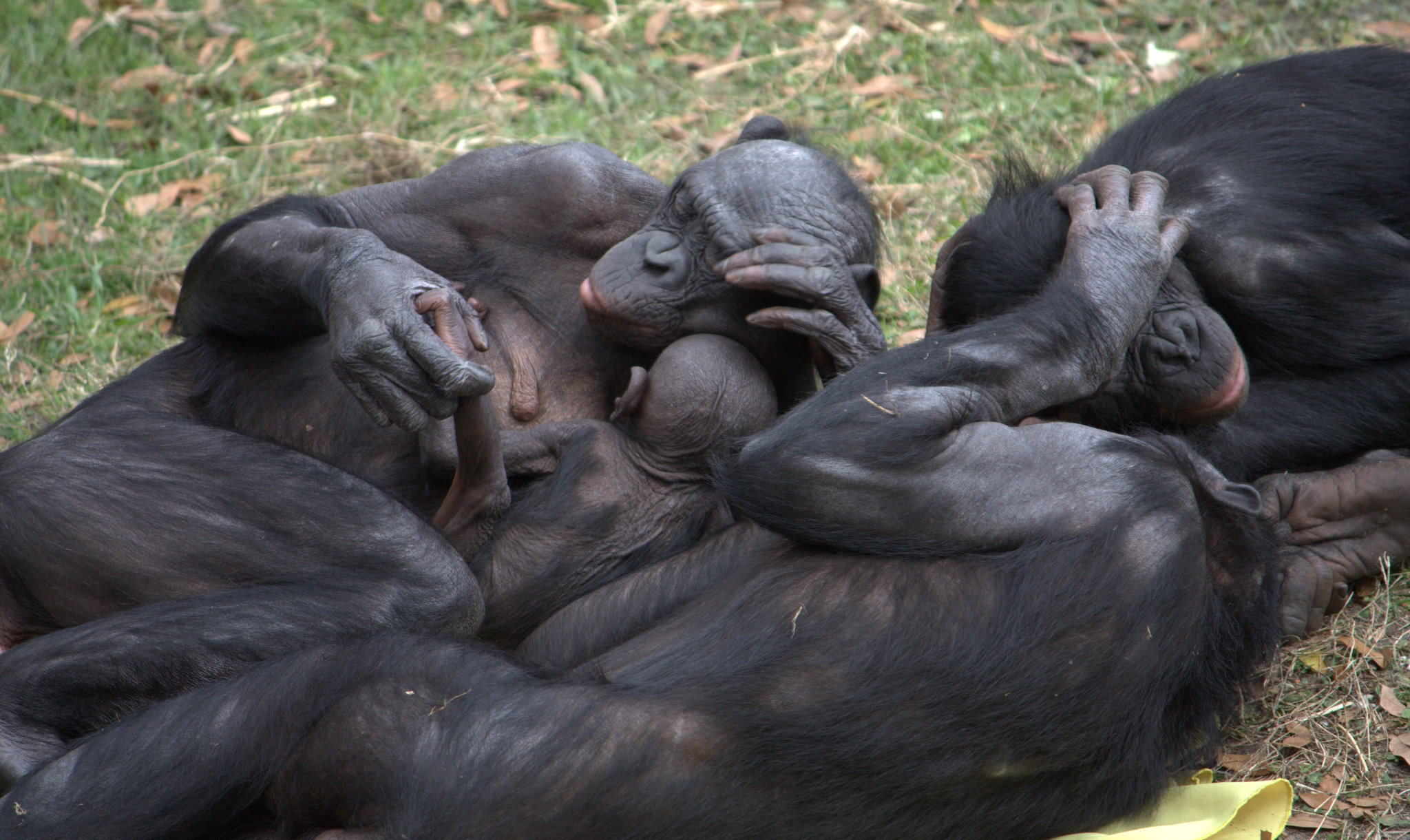 File:Bonobo group hug.jpg - Wikimedia Commons