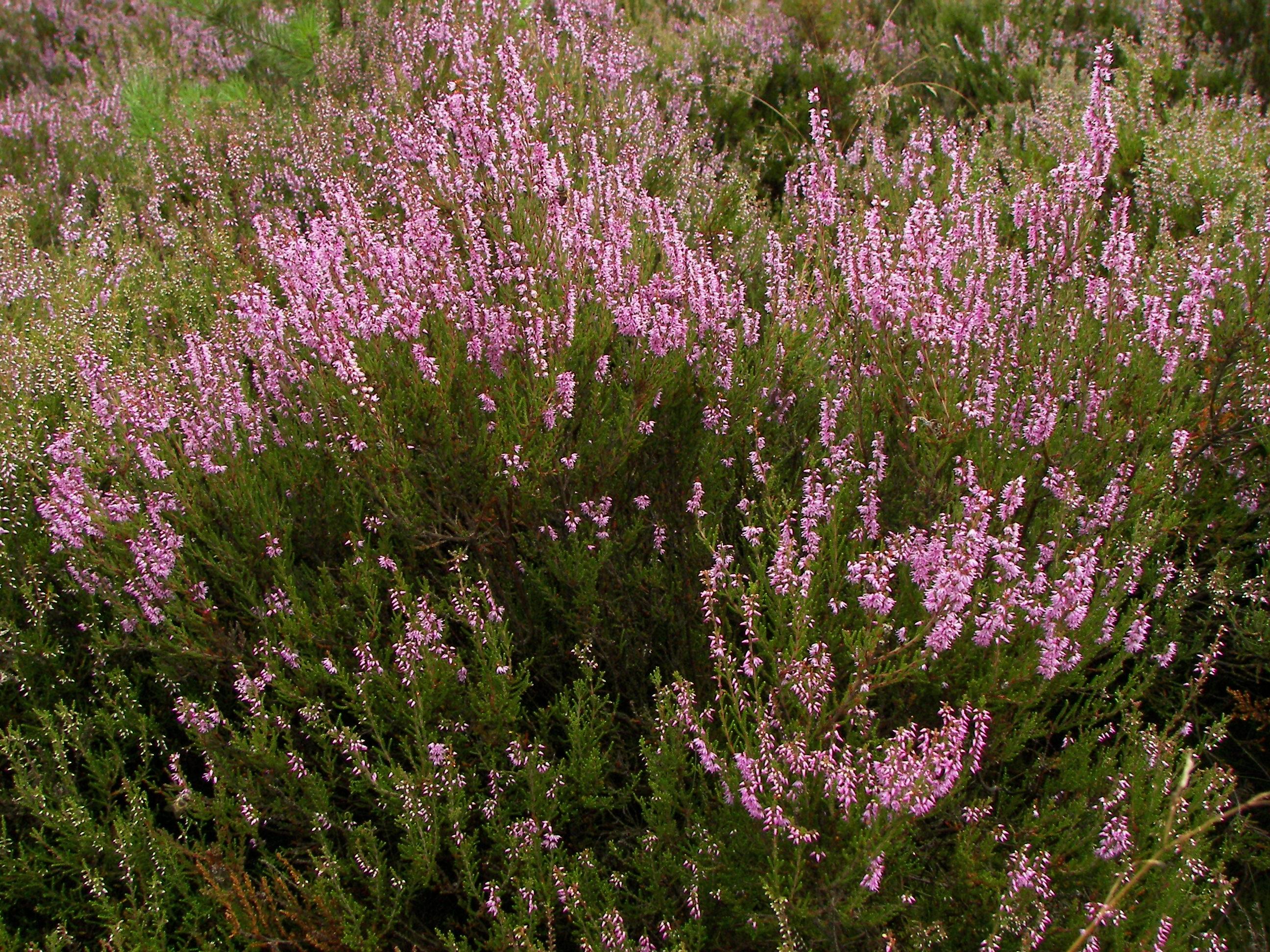Wrzos zwyczajny wikiwand for Calluna vulgaris