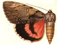 <i>Catocala leechi</i> species of insect