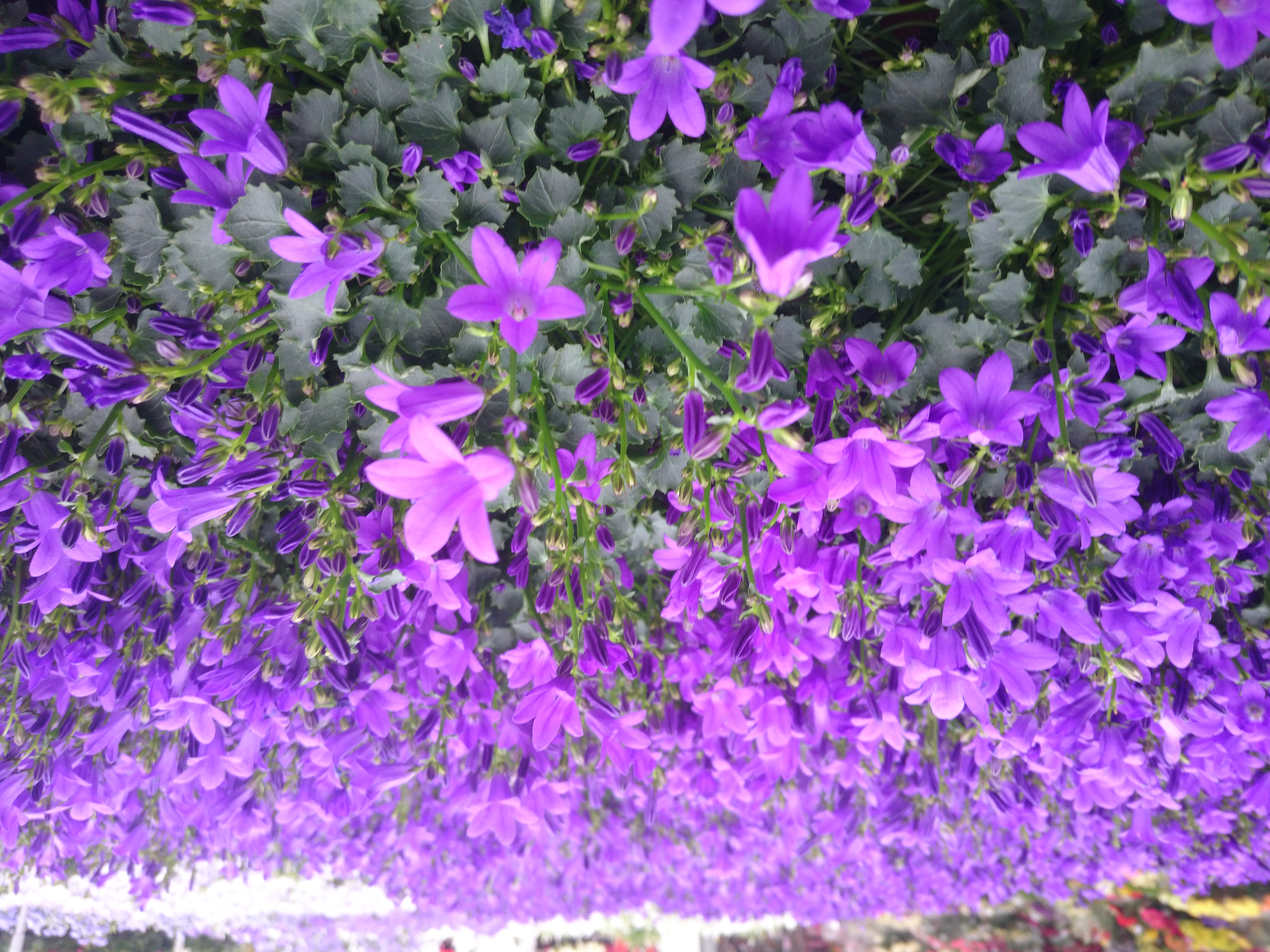 File:Champs de fleur violette.jpg - Wikimedia Commons