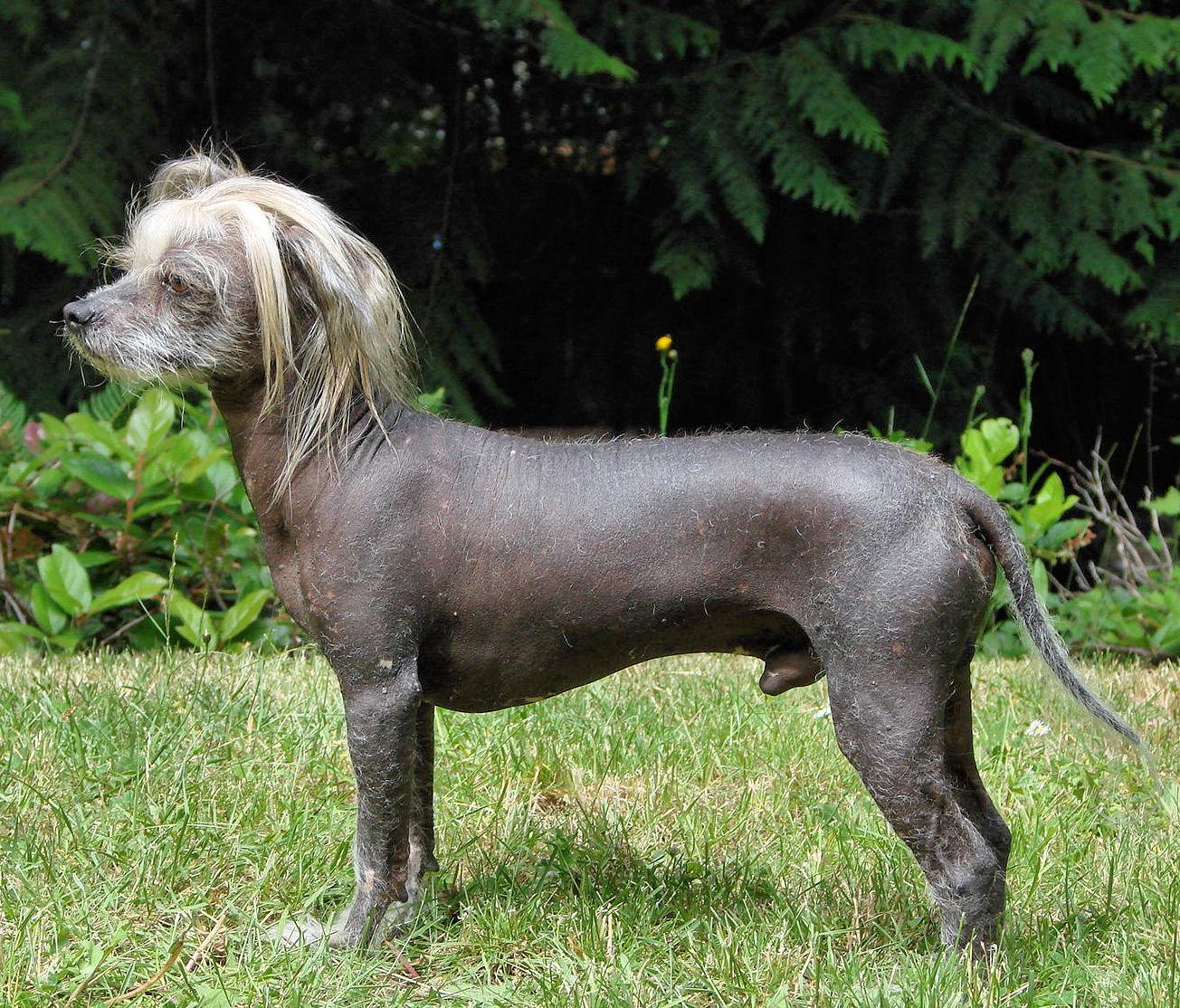 Chinese Crested Dog Barking