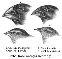 The geographical isolation of Darwin's finches on the Galápagos Islands led to the rise of over a dozen distinct species. Their beak shapes reflect adaptations to many different food sources.