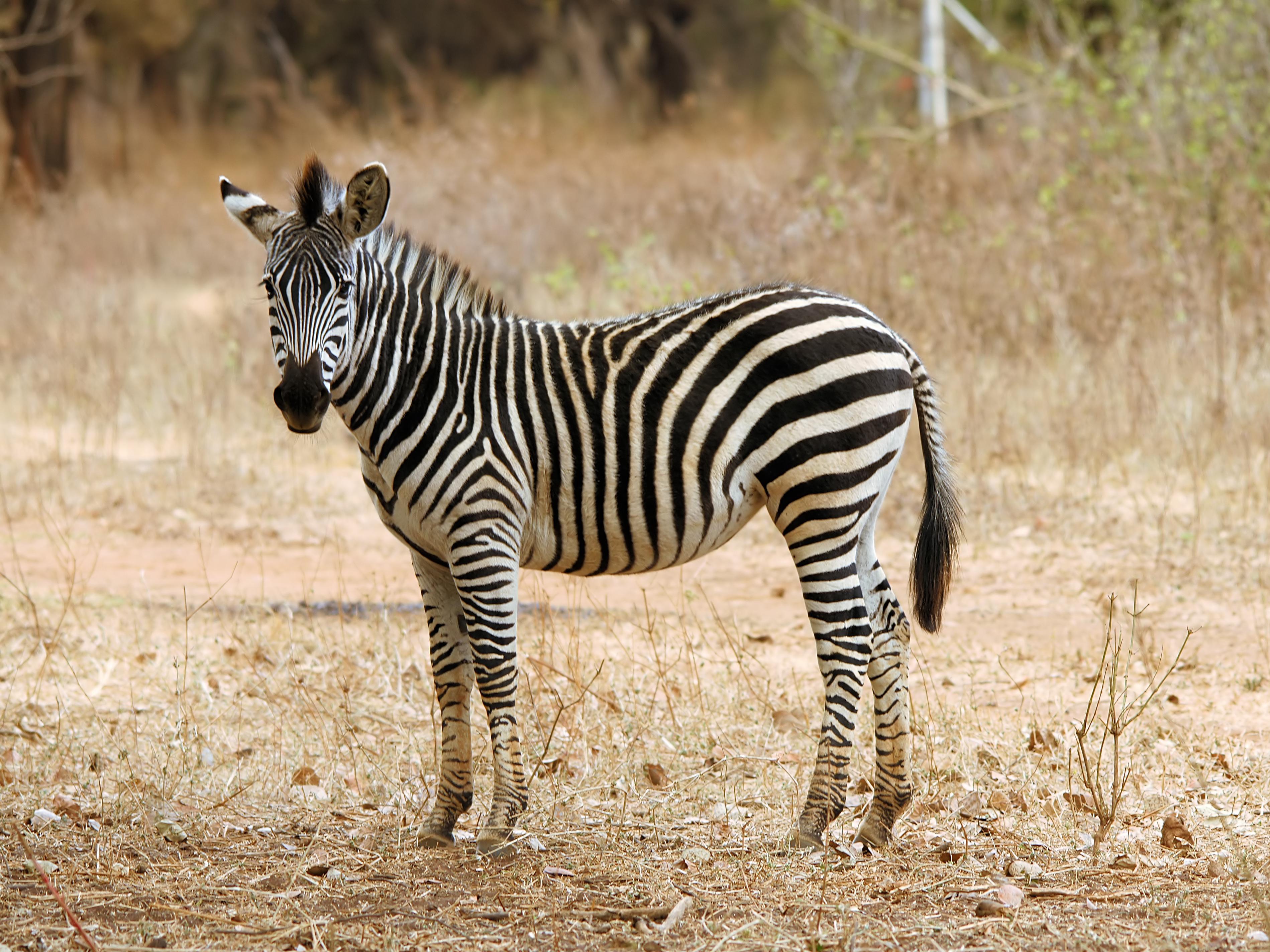 quagga zebra