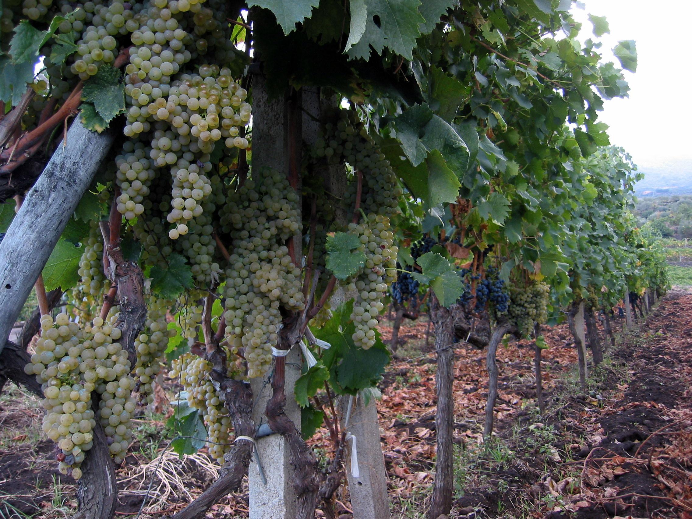 List Of Italian Grape Varieties