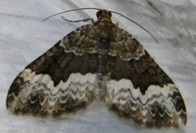 Euphyia biangulata. Location: France - Midi-Pyrénées