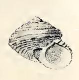 <i>Eurytrochus danieli</i> species of mollusc