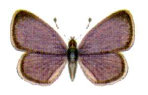 <i>Famegana</i> Monotypic butterfly genus in family Lycaenidae