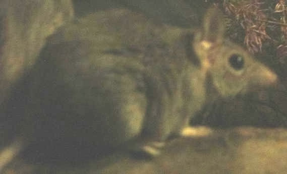The average litter size of a Fawn antechinus is 10