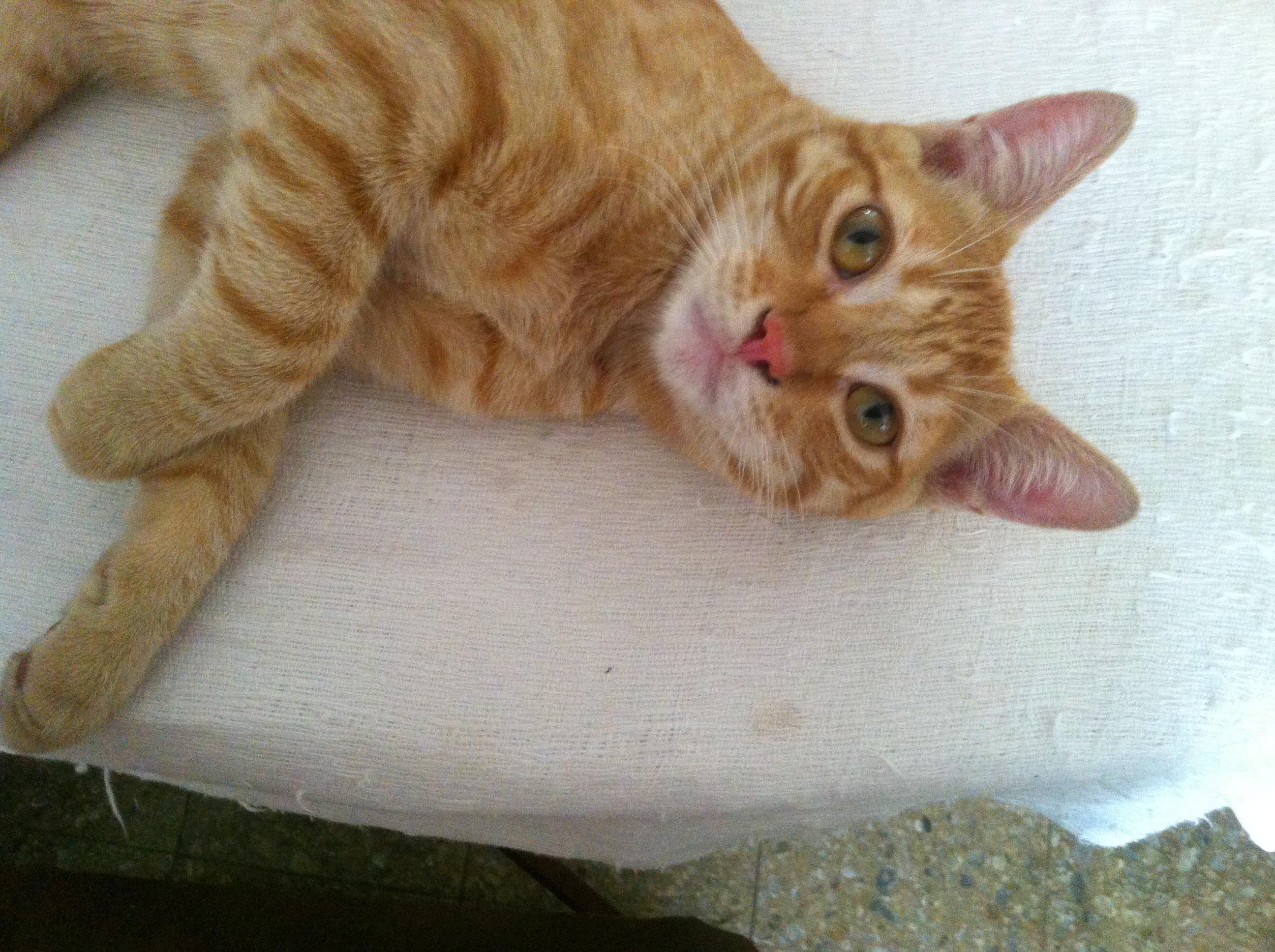 Normal Color Cat Ear Wax