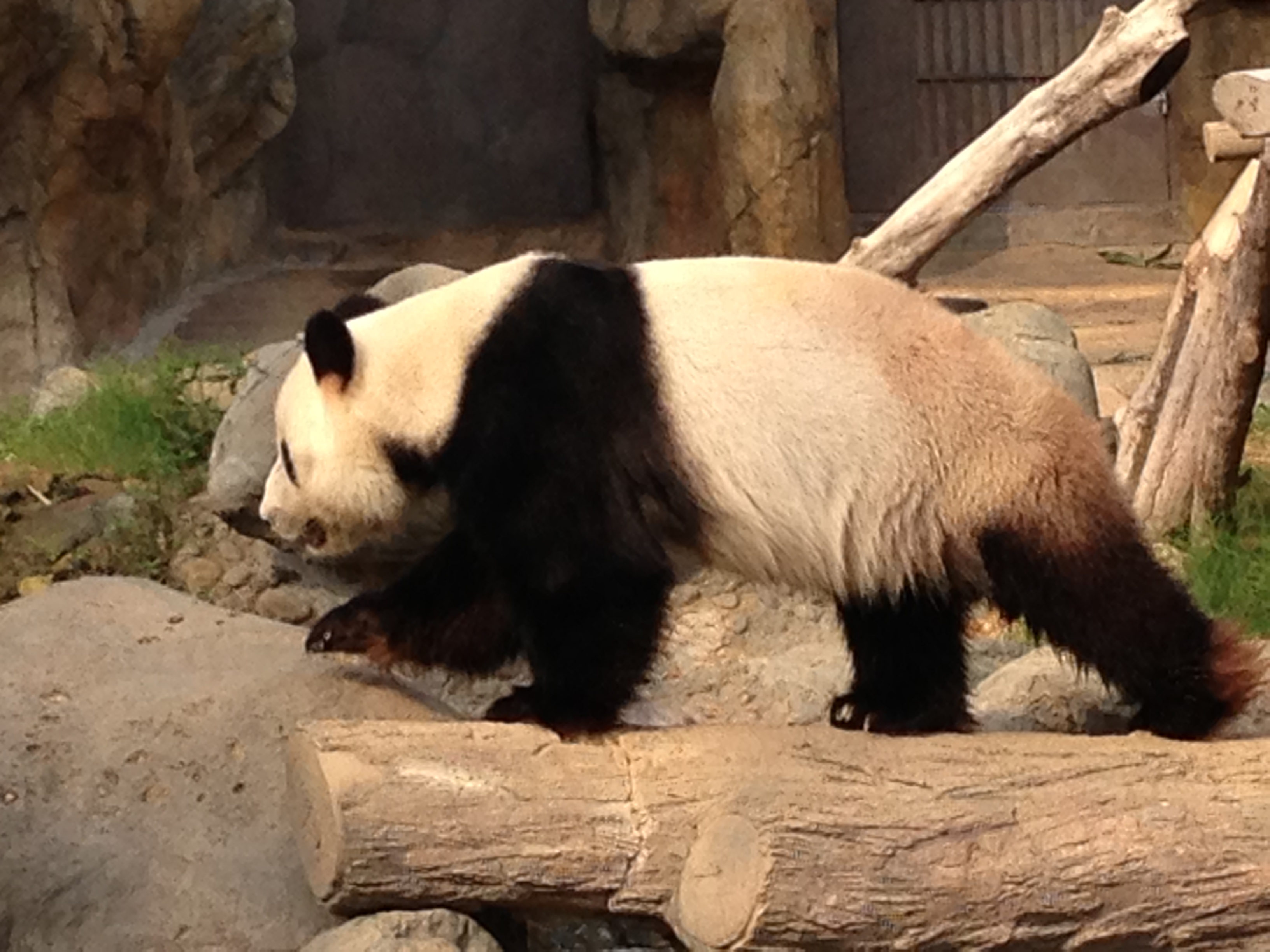 China Giant Panda Facts Habitat Lifespan Food