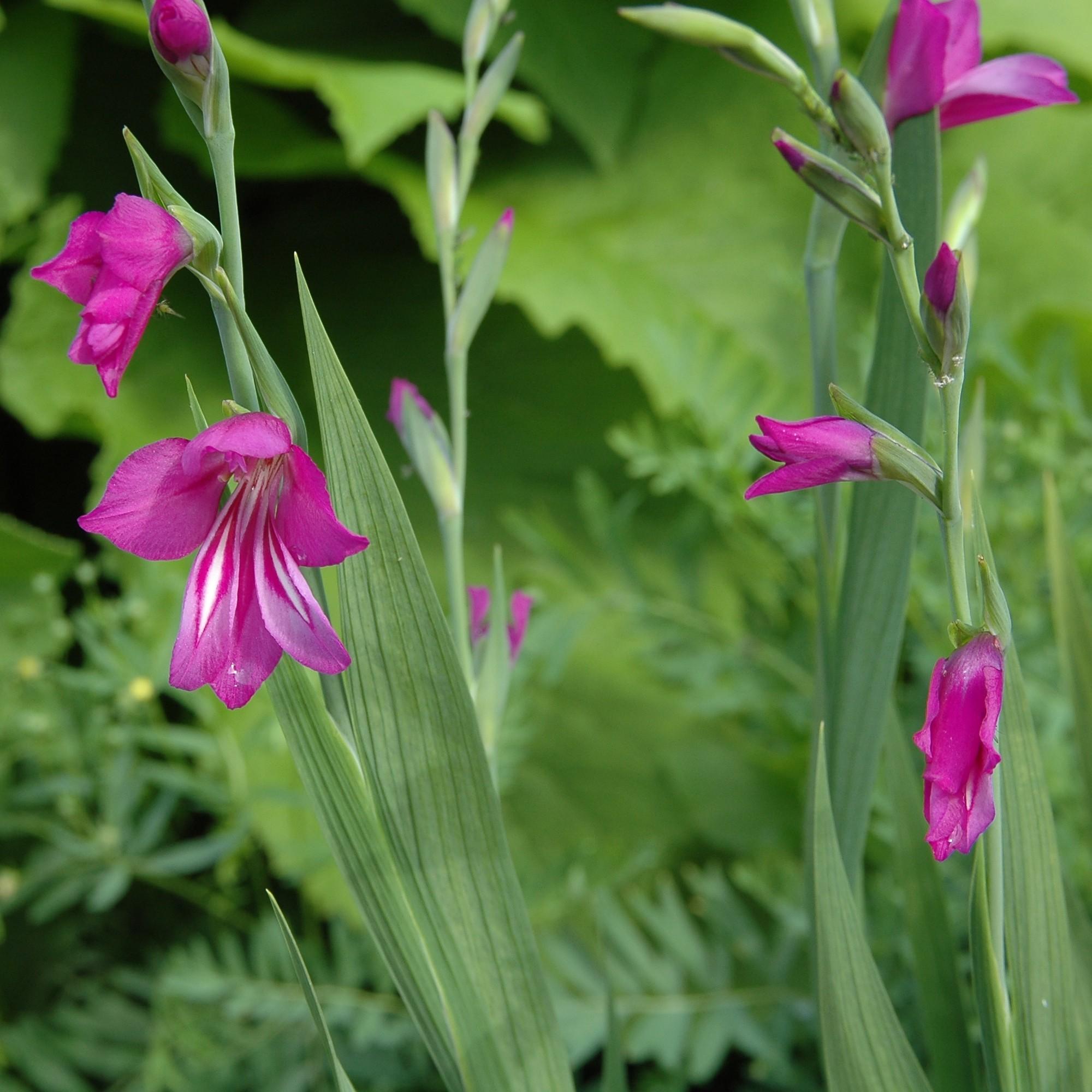 Semis de Gladiolus Gladiolus_imbricatus1003