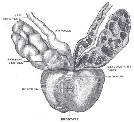 Tuyến tiền liệt, cấu trúc và chức năng