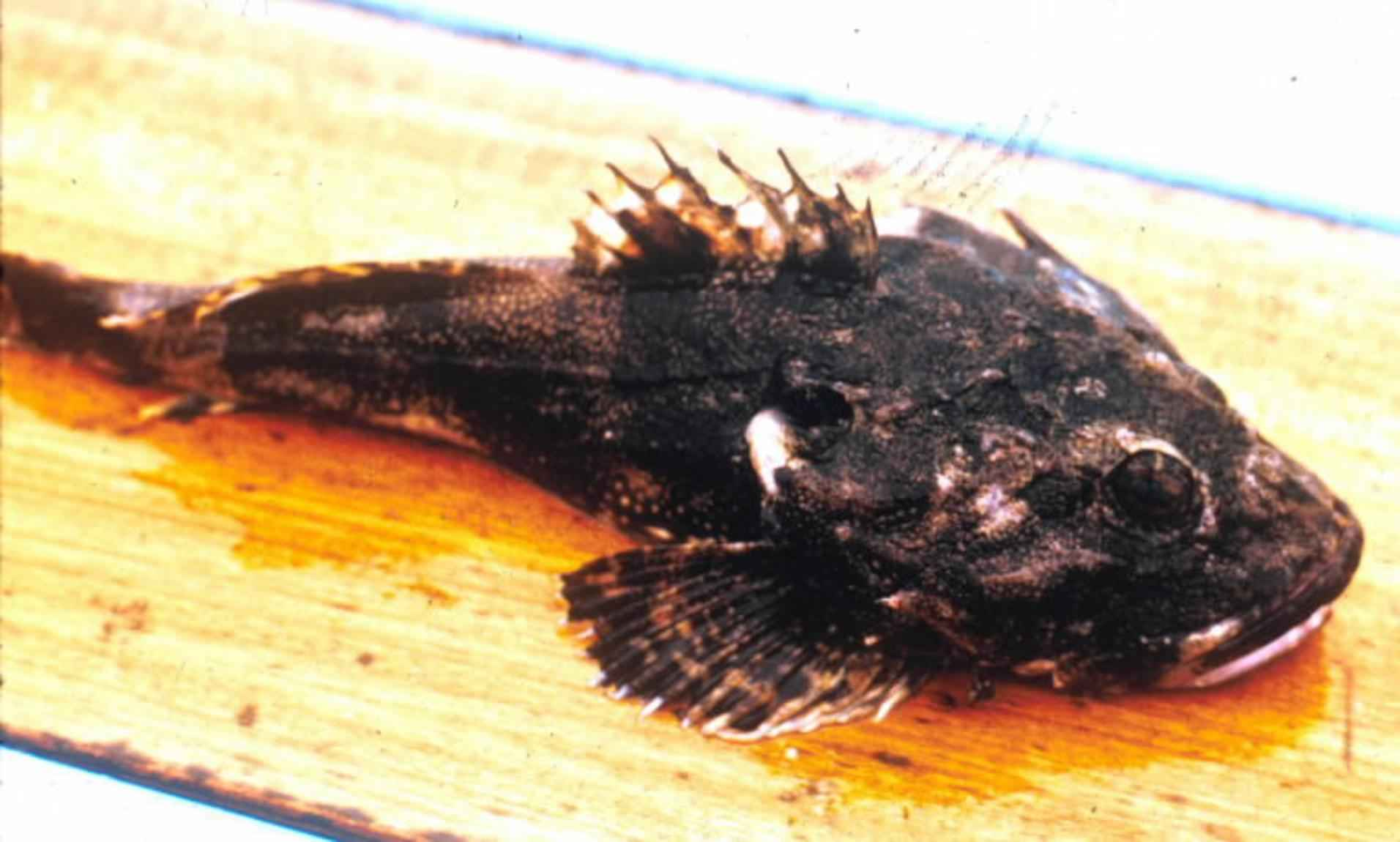 File:Great sculpin fish close up head.jpg - Wikimedia Commons