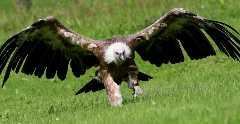 Griffon_Vulture_(Gyps_fulvus)_(17).jpg