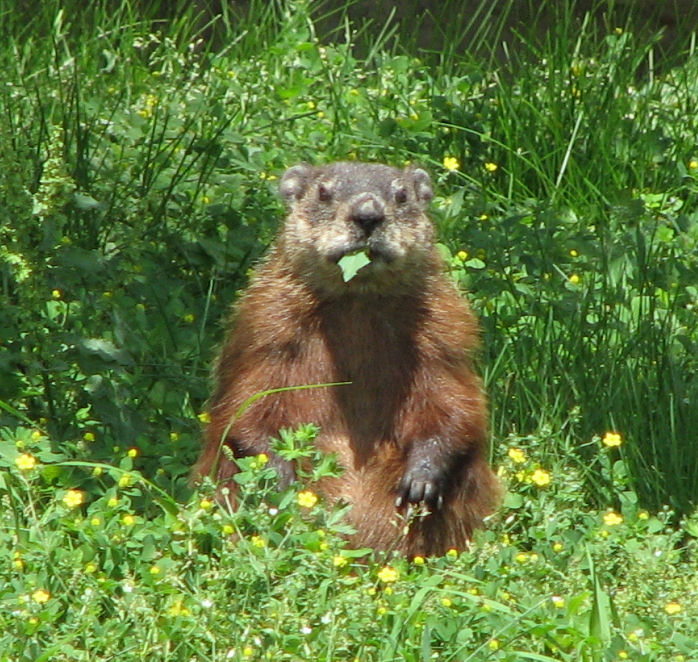 Groundhog by D. Gordon E. Robertson via Wikimedia Commons