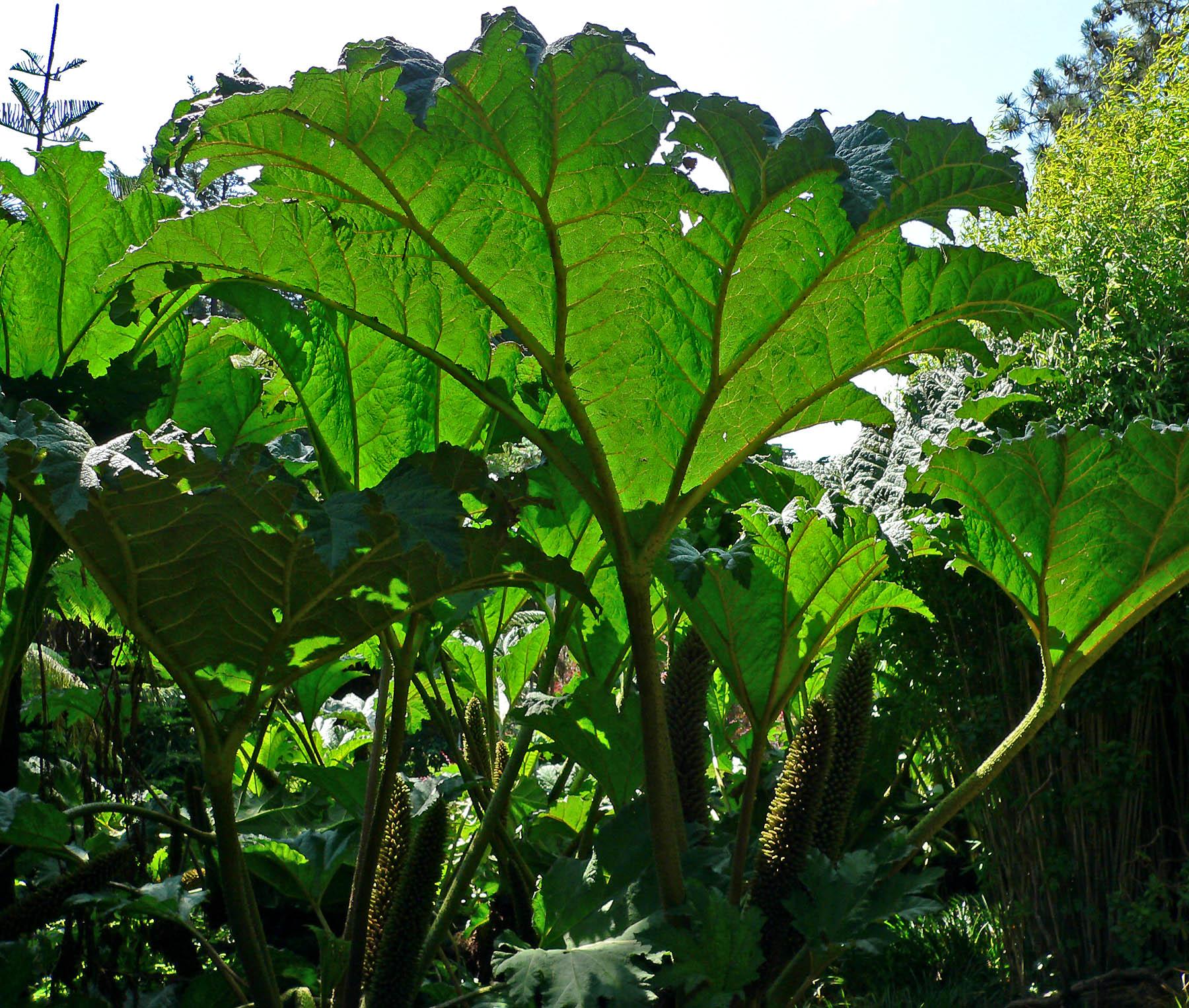 Gunera manicata la plante g ante le coin jardin - Comment aller au jardin d acclimatation ...