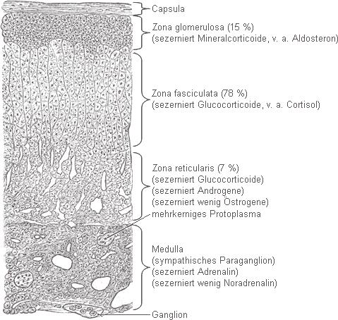 Nebenniere – Wikipedia