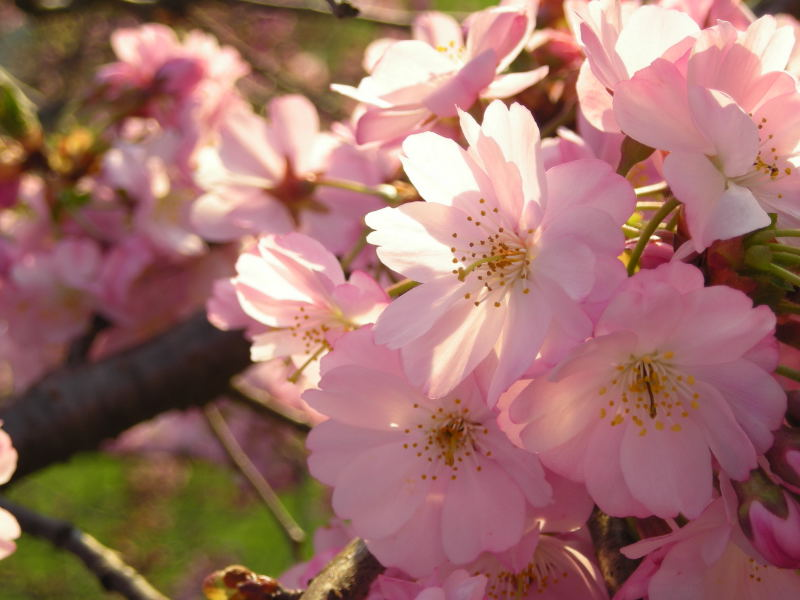 File:Japanese-cherry-Blossom (4).JPG
