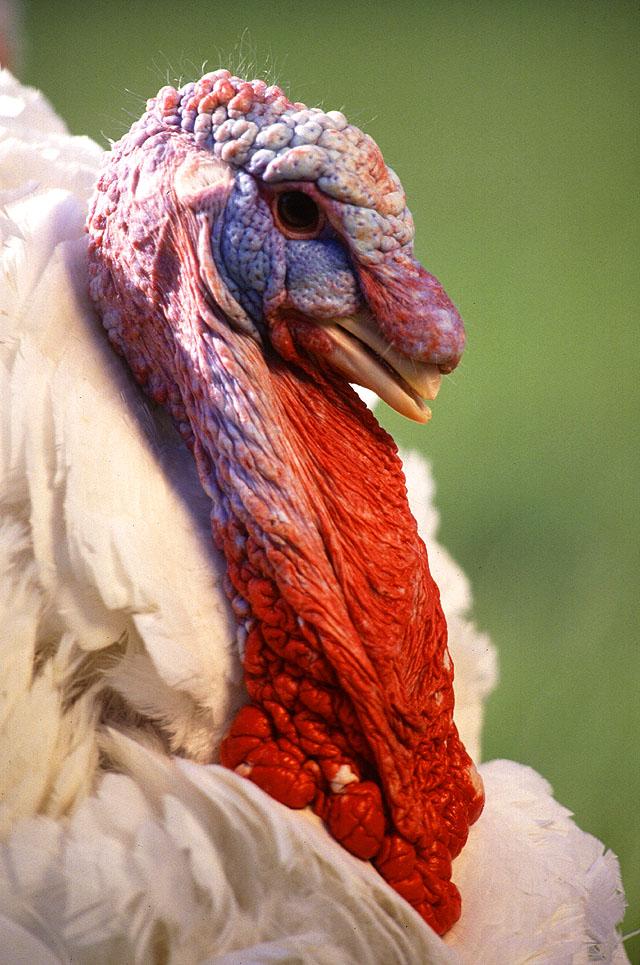 Large White turkey male.jpg
