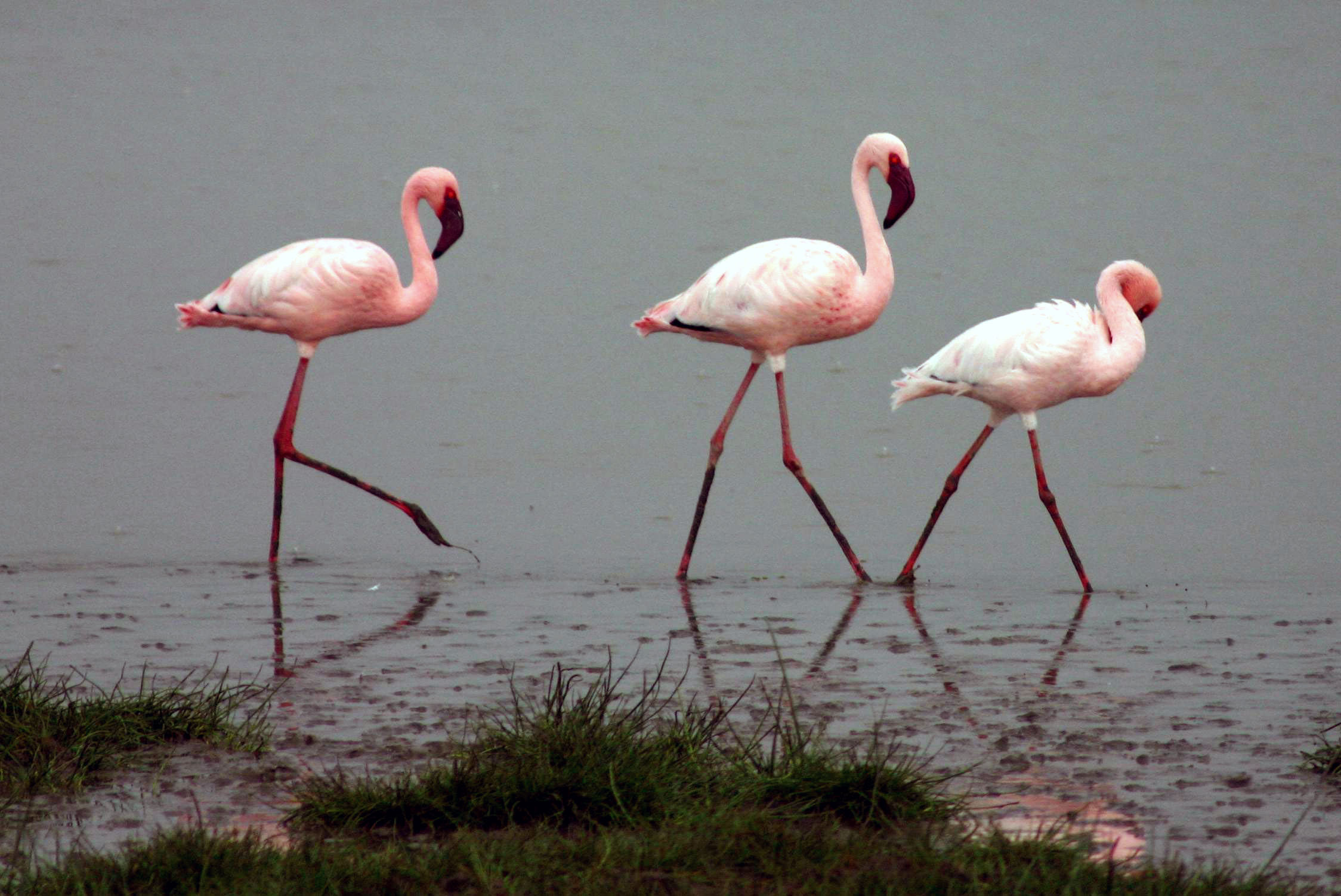 Flamingos that breed at the point calimere wildlife sanctuary in india