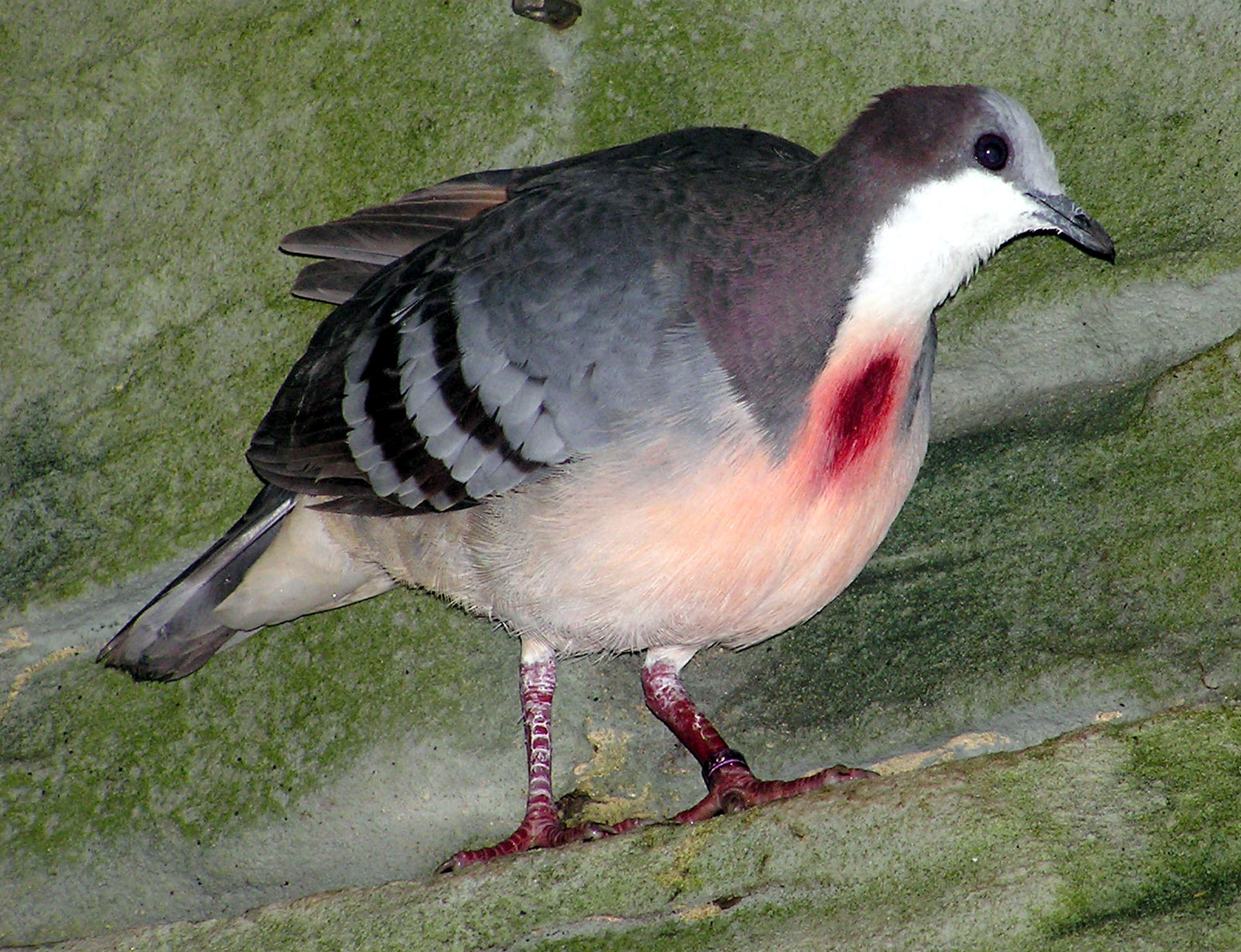 The Luzon Bleeding Heart Pigeon