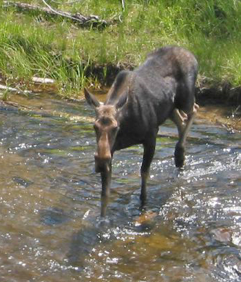 Moose crossing river in yellowstone.jpg