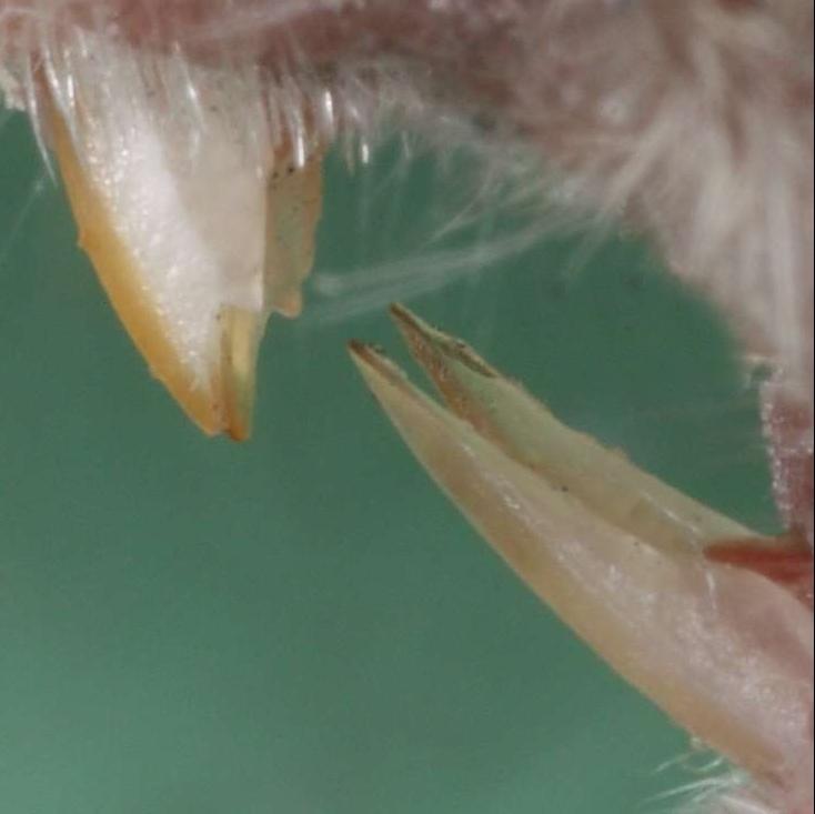 Hlodavé zuby myši