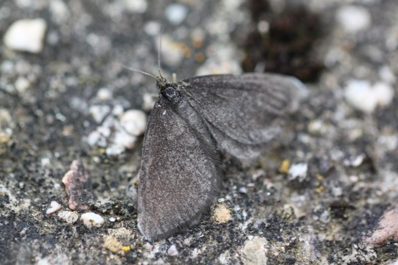 Odezia atrata (Geometridae) (Chimney Sweeper) - (imago), Étang de Lachaussée, France